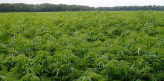 Preparar un Cultivo de de Marihuana - Preparación un Cultivo