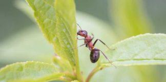 Hormigas Plagas de la Marihuana - Hormigas Plagas