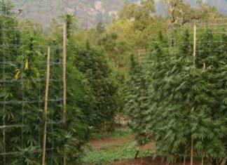 Repelentes Ecológicos para la Marihuana - Repelentes Marihuana