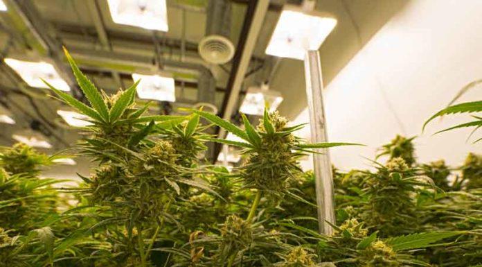 Marihuana en Nuestro Cuerpo - Marihuana Terapéutica