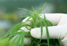 Olor Marihuana - Por qué la Marihuana Tiene ese Olor