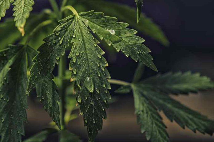 Riego de Marihuana - Regar las Plantas de Marihuana