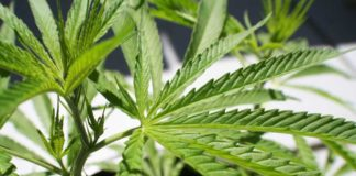 Beneficios Planta de Marihuana - Beneficios Planta de Cañamo