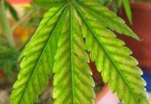 Las Plantas de Marihuana con déficit de Magnesio
