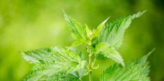 Preparado de Ortiga para Curar - Ortiga Planta Milagro