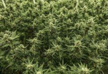 Cómo Proteger las Plantas de Marihuana - Proteger la Marihuana