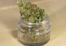 Marihuana Organica - Cultivo de Marihuana Orgánica