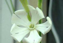 Silene Capensis - Raiz Africana de los Sueños - Silene Capensis para Dormir