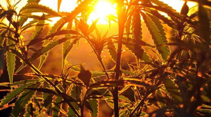 Enfermedades de la Marihuana - Hongos en la Marihuana