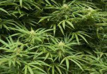 Marihuana y Alcohol - Marihuana protege el Cerebro del Alcohol