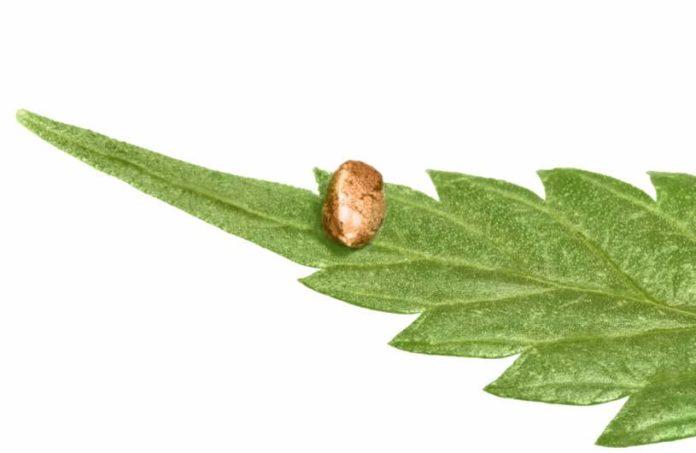 Guardar Semillas de Marihuana - Conservar Semillas de Marihuana