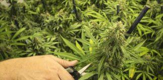 Podas Marihuana - Evitar los Hongos en la Marihuana Mediante Podas