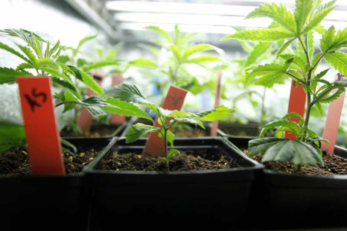 Cultivo Marihuana Interior - Cultivo Plantas Marihuana en Interior