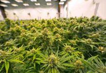 Eliminar las Plagas de Marihuana - Eliminar las Plagas de la Marihuana de Forma Ecológica