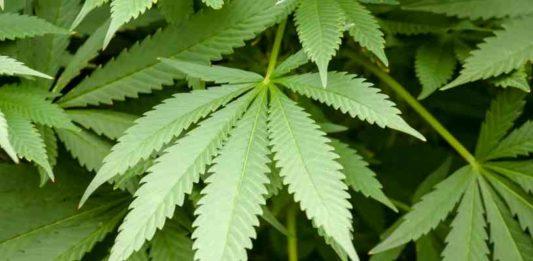 Plantas Medicinales - Plantas Curativas - Marihuana Curativa