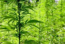 Cuatro Plantas de Marihuana - Cultivo de Marihuana