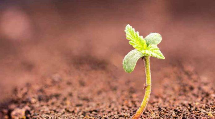 Tierras y Sustratos para el Cultivo de Marihuana
