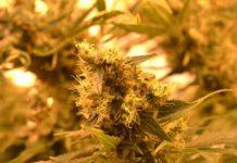 Semillas de Marihuana Autoflorecientes - Semillas Autos