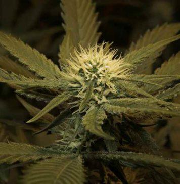 Elegir Semillas de Marihuana - Semillas de Marihuana