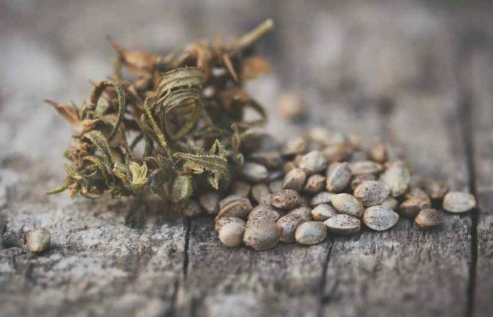 Germinar Semillas de Marihuana - Cómo Germinar Semillas de Marihuana