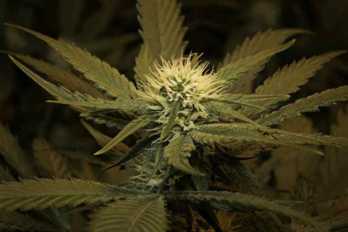 Esquejes Marihuana - Cultivo de Esquejes de Marihuana