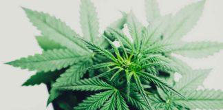 Terpenos - Variedad de terpenos en la Planta de Marihuana