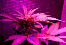 Cultivo Indoor - Cultivo de Marihuana Indoor