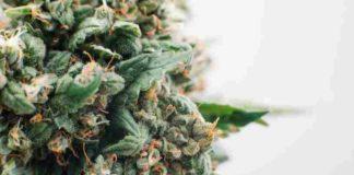 Cultivo Marihuana Floración - Floración Cultivo Marihuana