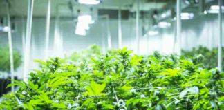 Plagas de la Marihuana - Productos Ecológicos para Proteger a la Marihuana