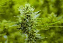 Aceite de Marihuana Medicinal - Aceite de Cannabis Medicinal