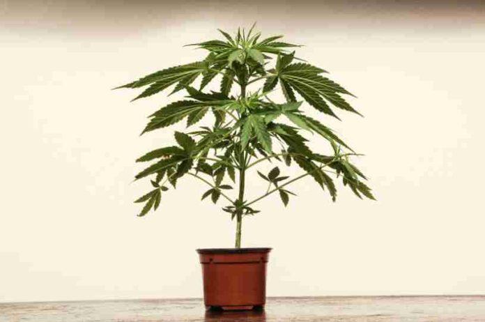 Trasplantar Marihuana - Trasplantar Plantas de Marihuana