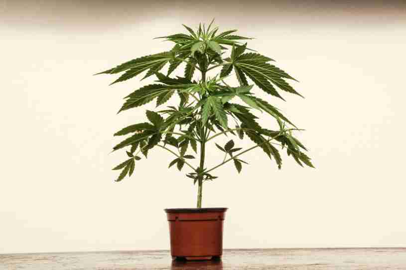 marihuana - trasplantar plantas de marihuana