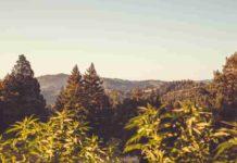 Cultivo de Guerrilla - Cultivo de Guerrilla de Marihuana