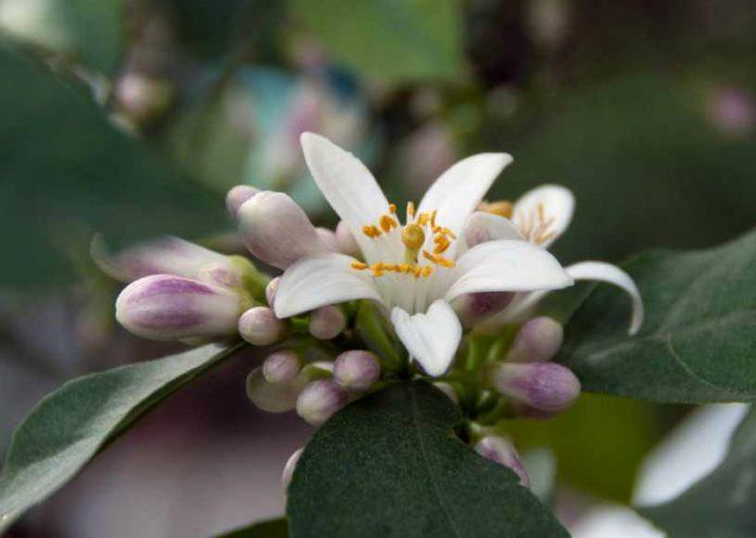 Plantas Medicinales Flor de Azahar - Planta de Albahaca