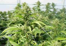 Cosecha de Marihuana Lista - Recoger Cosecha de Marihuana