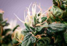 Marihuana Cuerpo Humano - Actuación de la Marihuana en el Cuerpo Humano