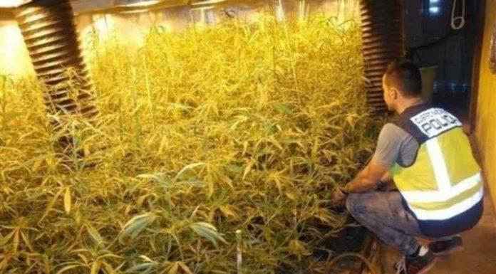 Hidroponía Marihuana - Cultivo de Marihuana con Hidroponía