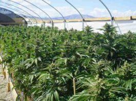 Limpieza en Cultivo Marihuana - Cultivo Marihuana Limpieza
