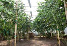 Aprendiendo a Cultivar Marihuana - Comenzando a Cultivar Marihuana