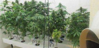 Cultivo Hidropónico de Marihuana - Cultivo Hidroponía Marihuana