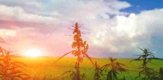 Quemaduras en la Planta de Marihuana