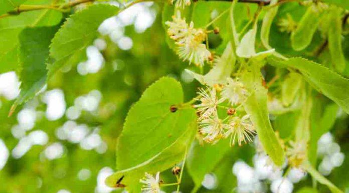 Planta Medicinal del Apio - Planta Medicinal de la Tila