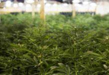 Cultivo Plantas Autoflorecientes - Cultivo Marihuana Autofloreciente
