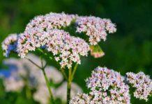 Planta Medicinal de la Hierbabuena - Planta Medicinal de la Valeriana