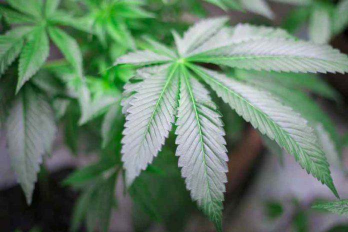Sufrimiento Plantas de Marihuana - Estrés de Plantas de Marihuana