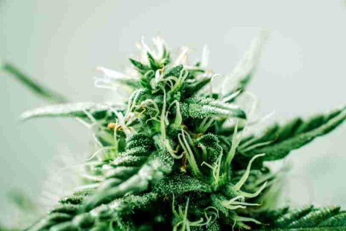 Semillas Ricas en CBD - Beneficios de las Plantas de Marihuana Ricas en CBD