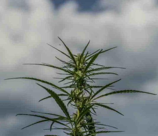 Proteger Cultivo Marihuana mal Tiempo - Cuidar Cultivo Marihuana