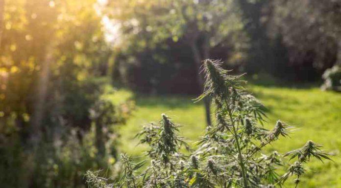 Futuro de la Marihuana - Hacia dónde va la Marihuana