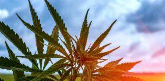 Proteger Plantas Marihuana del Calor - Cuidar Plantas Marihuana