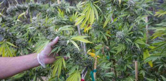 Poda Plantas de Marihuana - Técnicas de Poda de Plantas de Marihuana